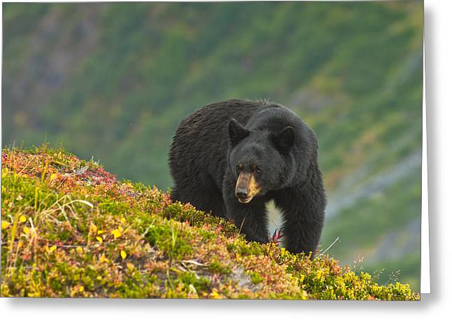 A Black Bear Foraging For Berries On A Greeting Card by Michael Jones