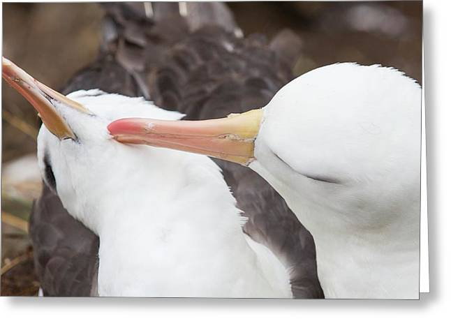 A Black Browed Albatross Greeting Card