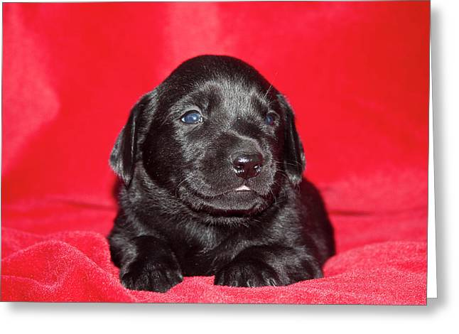 A Black Labrador Retriever Puppy Lying Greeting Card by Zandria Muench Beraldo