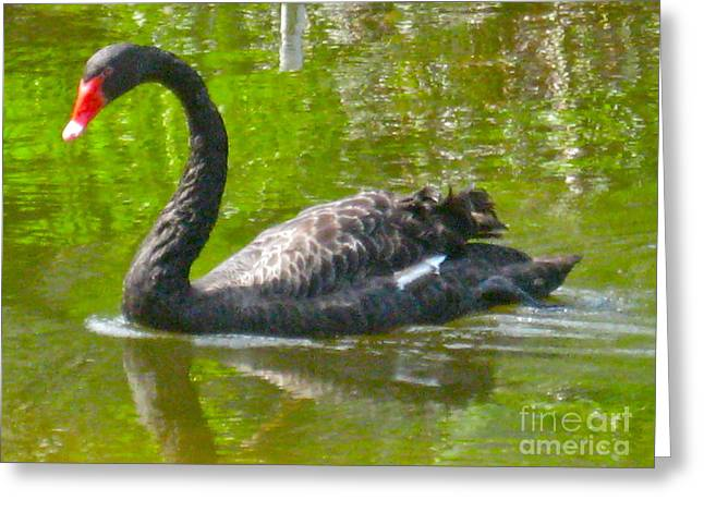 A Black Swan Swimming Greeting Card by Joan McArthur
