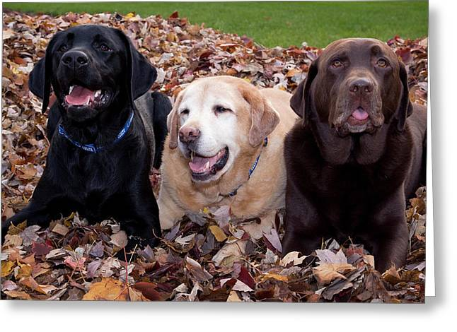 A Black, Yellow, And Chocolate Labrador Greeting Card by Jaynes Gallery