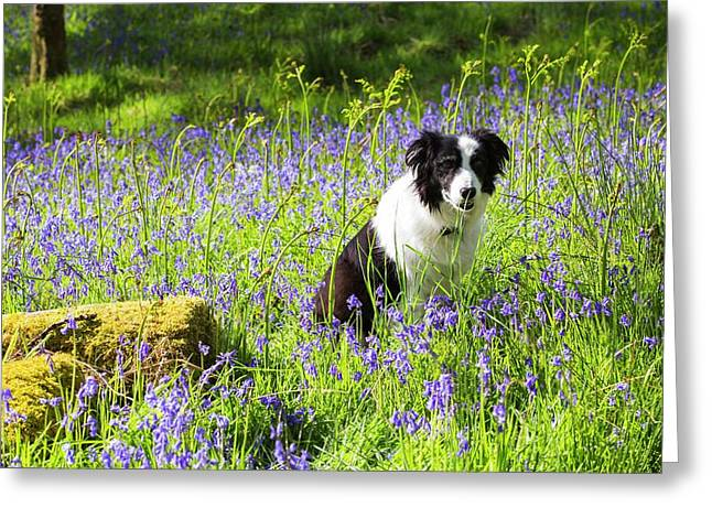 A Border Collie Amongst Bluebells Greeting Card