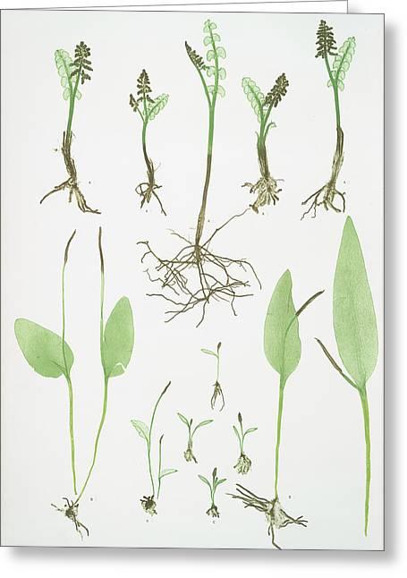 A. Botrychium Lunaria. B. Ophioglossum Vulgatum Greeting Card by Litz Collection