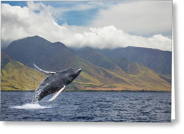 A Breaching Humpback Whale  Megaptera Greeting Card
