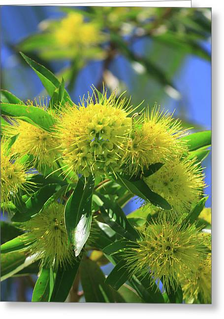 A Bright Yellow Wattle Tree In Suburban Greeting Card by Paul Dymond