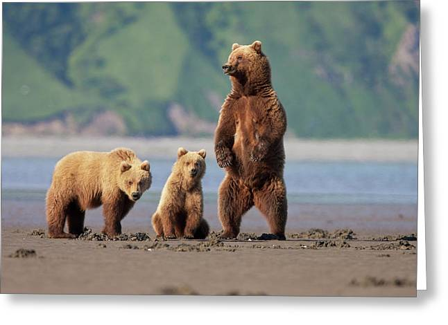 A Brown Bear Mother And Cubs Walks Greeting Card