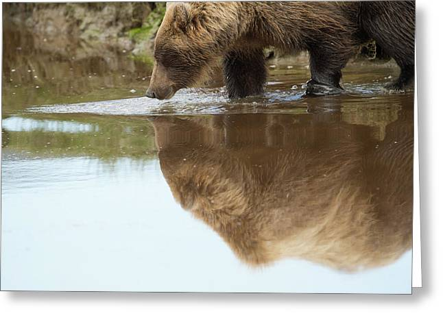 A Brown Bear, Ursus Arctos, Reflected Greeting Card by Bob Smith