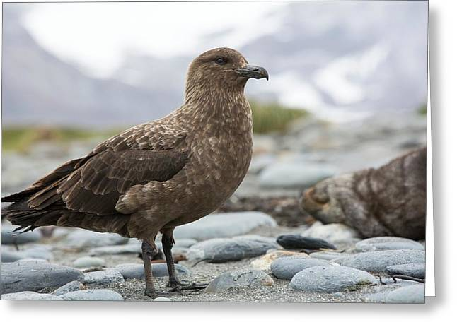 A Brown Skua Greeting Card by Ashley Cooper