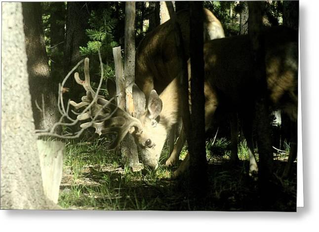 A Buck Deer Grazes Greeting Card by Jeff Swan
