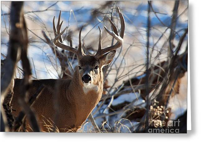 A Buck In The Bush Greeting Card