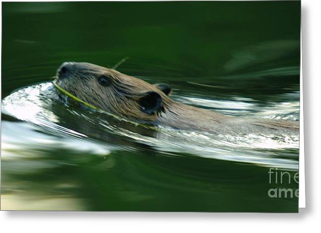 A Busy Beaver  Greeting Card by Jeff Swan