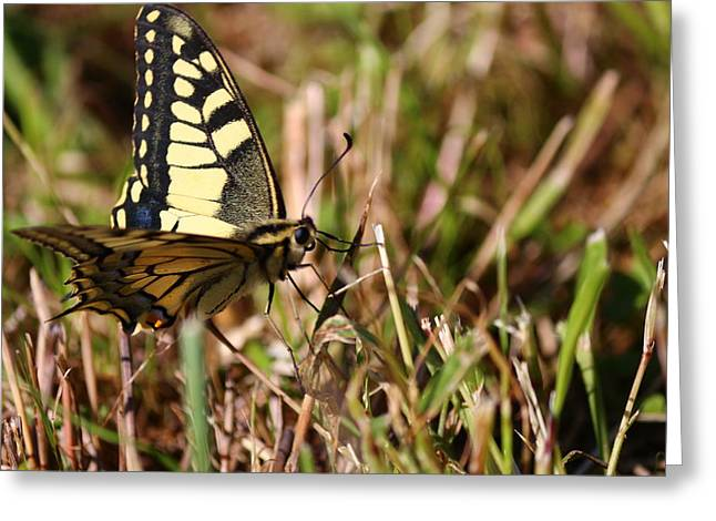 A Butterfly On The Grass Greeting Card by Samantha Mattiello