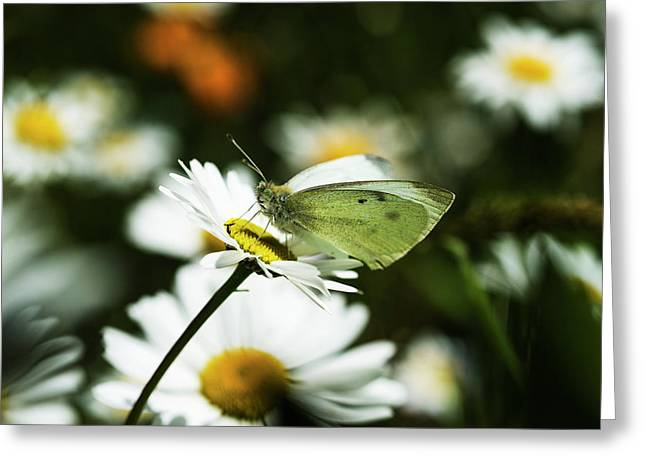 A Cabbage White Butterfly Rests Greeting Card by Robert L. Potts