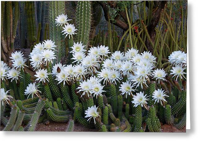 A Cactus Awakening Greeting Card
