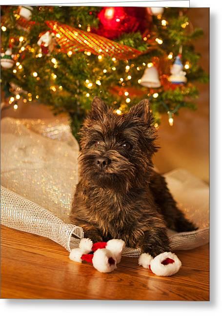 A Cairn Terrier Christmas Portrait Greeting Card by Heidi Marcinik
