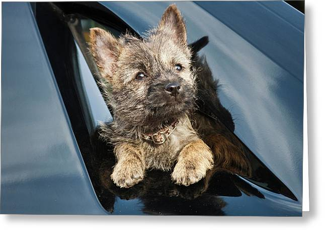 A Cairn Terrier Puppy Coming Greeting Card by Zandria Muench Beraldo