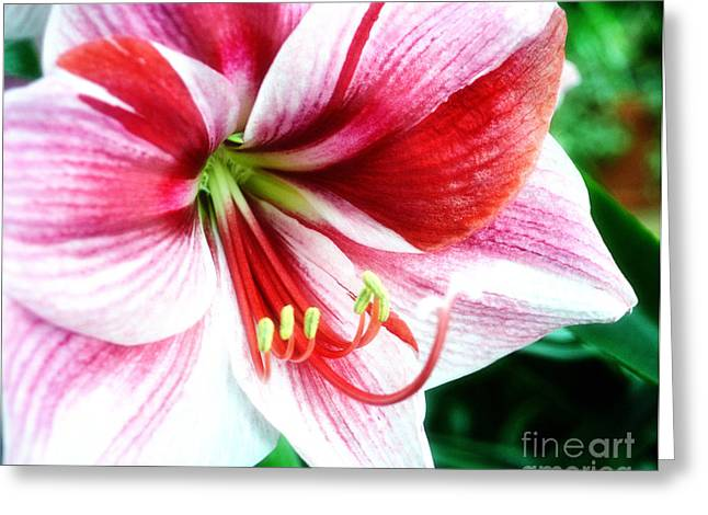 A Candy Cane Colored Amaryllis Greeting Card by Eva Thomas