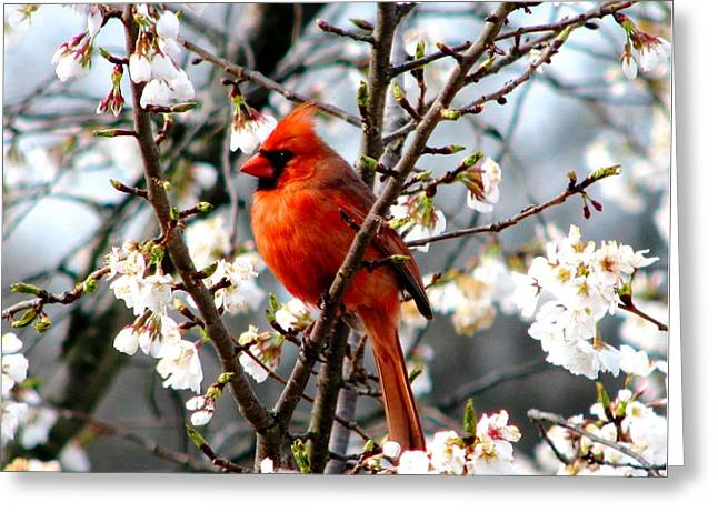 A Cardinal In The Apple Blossoms Greeting Card