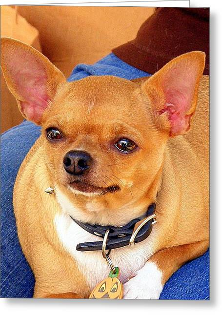 Greeting Card featuring the photograph A Chihuahua Named Pumpkin by Antonia Citrino