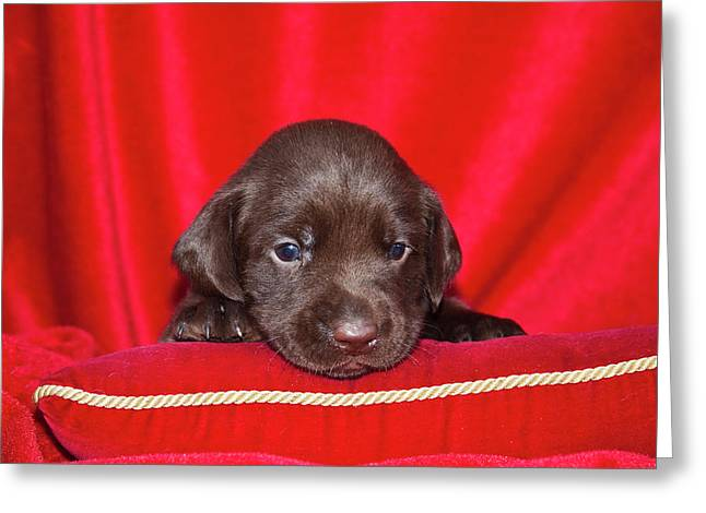 A Chocolate Labrador Retriever Puppy Greeting Card by Zandria Muench Beraldo