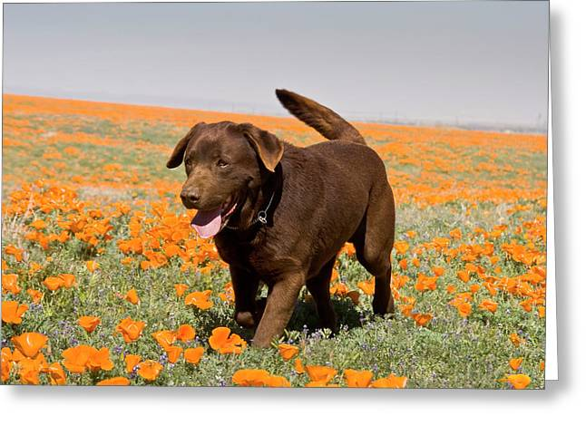 A Chocolate Labrador Retriever Walking Greeting Card by Zandria Muench Beraldo