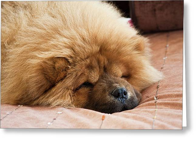 A Chow Chow Puppy Lying On A Tan Greeting Card