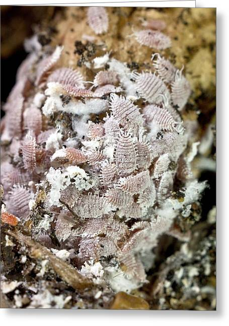 A Colony Of Root Mealybugs (rhizoecus) Greeting Card by Dr Jeremy Burgess