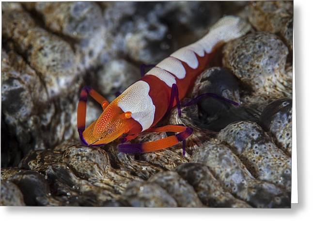 A Colorful Emperor Shrimp Sits Atop Greeting Card