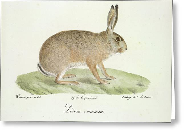 A Common Hare Greeting Card