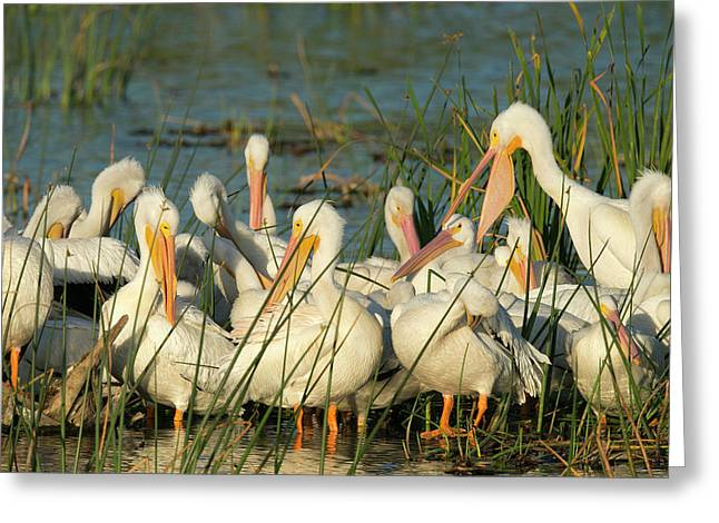 A Congregation Of White Pelicans Greeting Card by Maresa Pryor