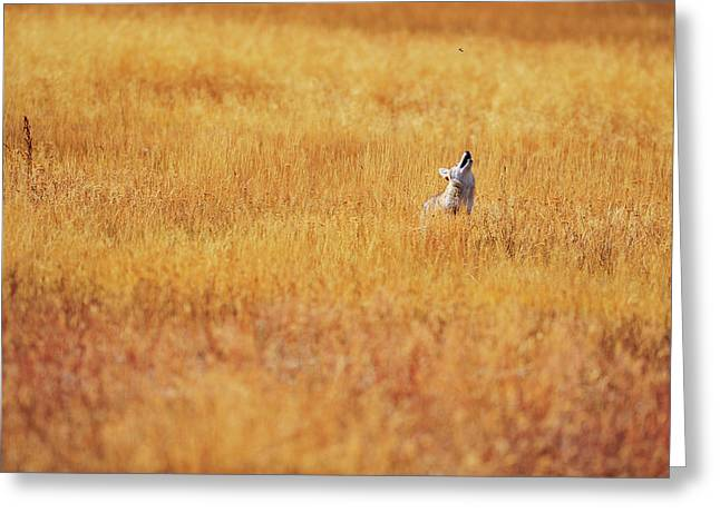 A Coyote Hunting Insects In A Golden Greeting Card