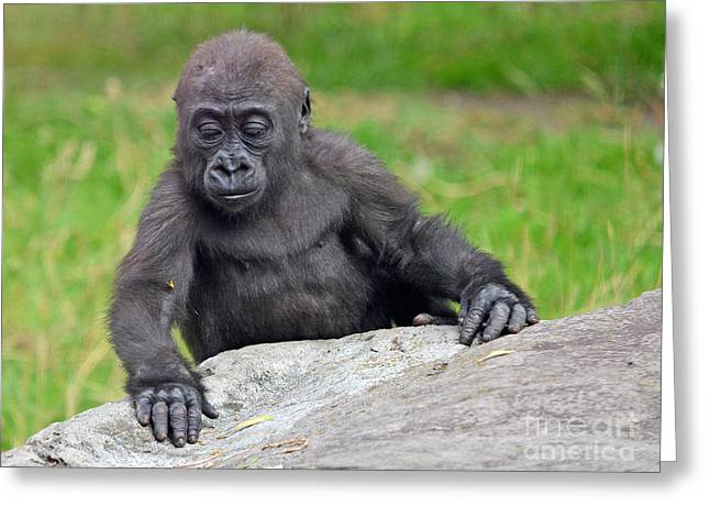 A Curious Baby Gorilla  Greeting Card by Jim Fitzpatrick