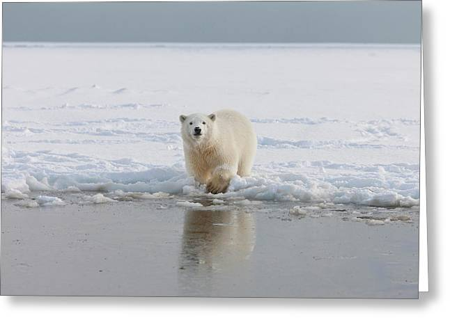 A Curious Young Polar Bear Plays Greeting Card by Hugh Rose