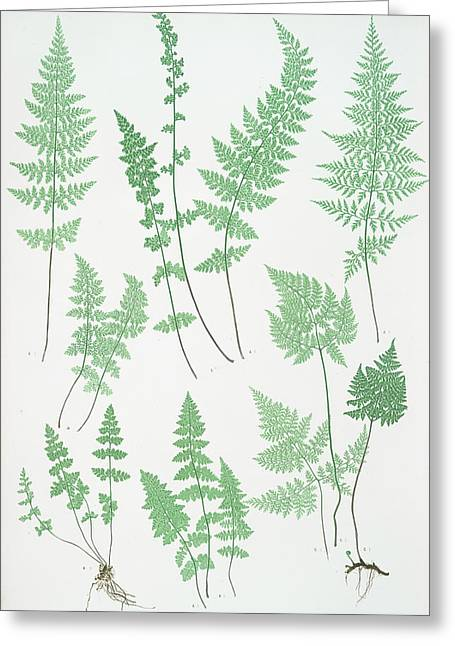 A. Cystopteris Fragilis. B. C. Regia. C. C Greeting Card by Litz Collection