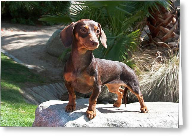 A Dachshund Puppy Standing On A Boulder Greeting Card by Zandria Muench Beraldo