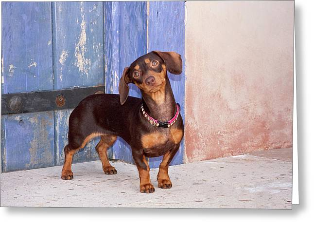 A Dachshund Puppy Standing Greeting Card by Zandria Muench Beraldo