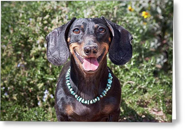 A Dachshund Smiling With Turquoise Greeting Card by Zandria Muench Beraldo