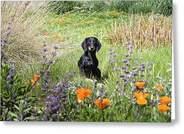 A Dachshund Standing On A Small Rock Greeting Card by Zandria Muench Beraldo