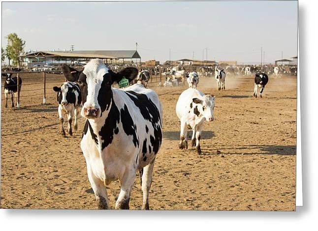 A Dairy Farm In California Greeting Card by Ashley Cooper