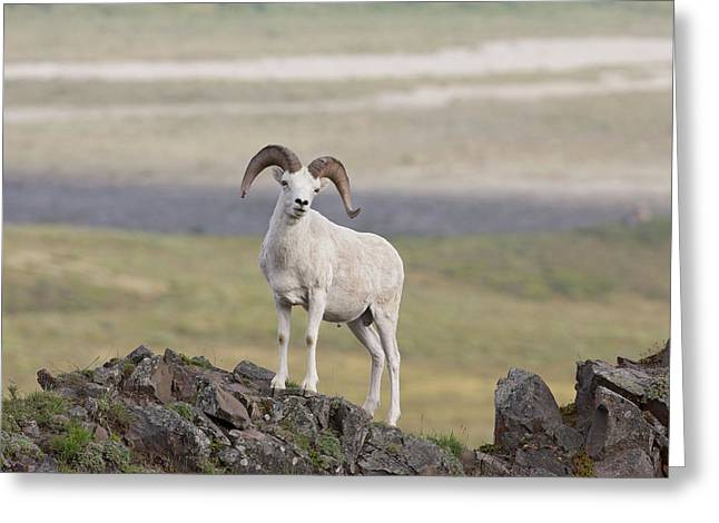 A Dall Sheep Ram Poses On Marmot Rock Greeting Card by Hugh Rose