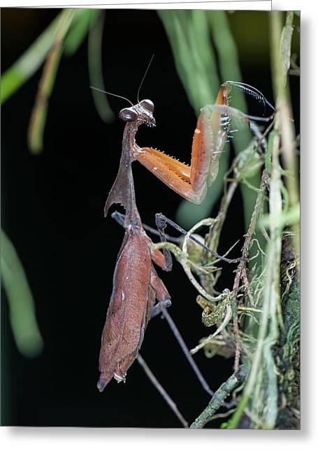 A Dead Leaf Mantis Greeting Card by Scubazoo