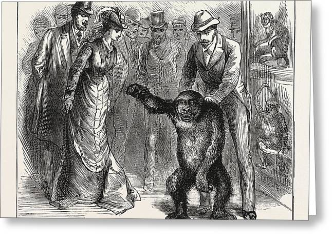 A Distinguished Visitor At Liverpool, The Young Gorilla Greeting Card