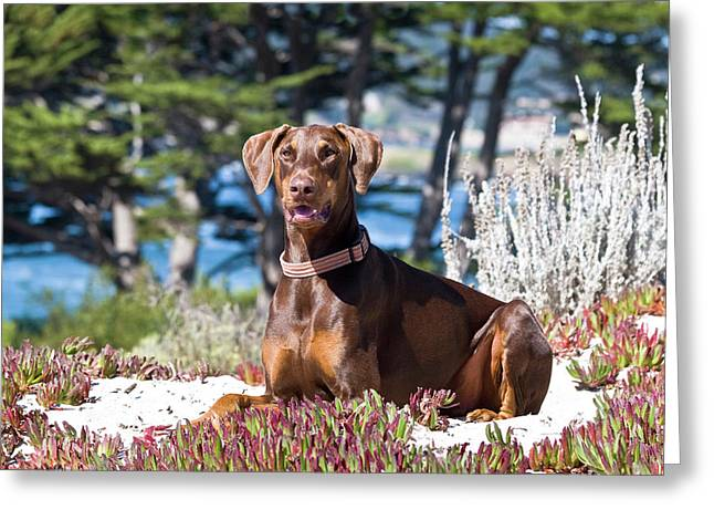 A Doberman Pinscher Lying In The White Greeting Card