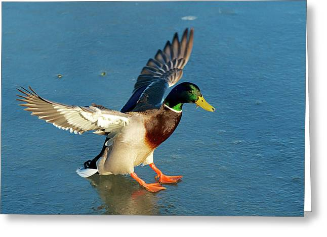 A Drake Lands On An Icy Pond Greeting Card