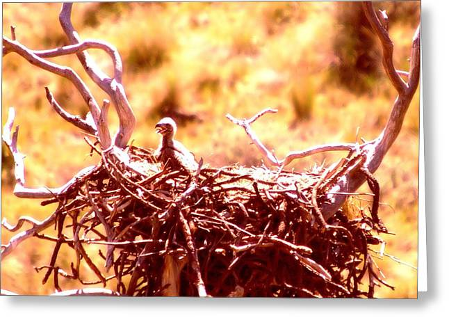 A Eaglet In Down Greeting Card by Jeff Swan