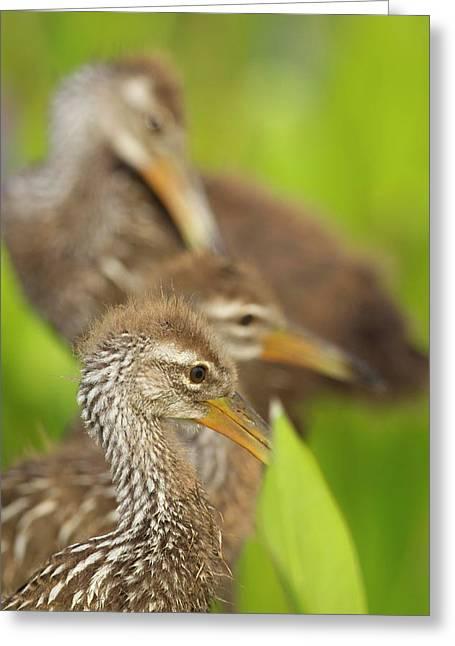 A Family Of Limpkin Chicks, Aramus Greeting Card by Maresa Pryor