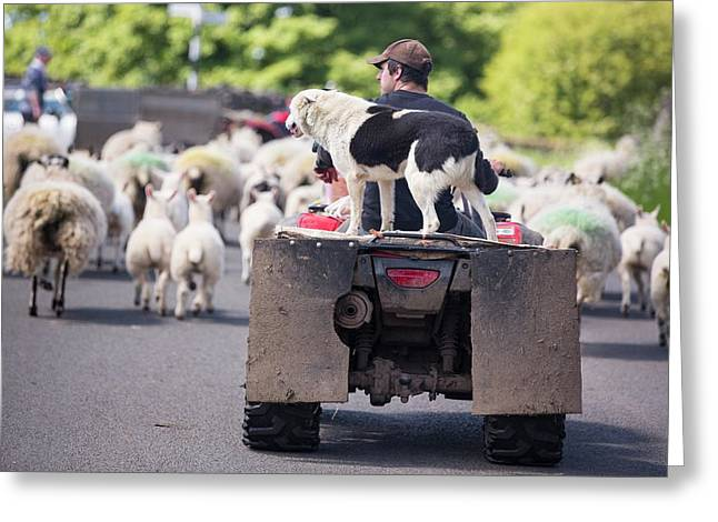 A Farmer Droving Sheep From A Quad Bike Greeting Card by Ashley Cooper