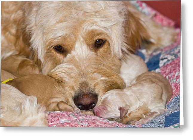 A Female Goldendoodle With Her Newborn Greeting Card by Zandria Muench Beraldo