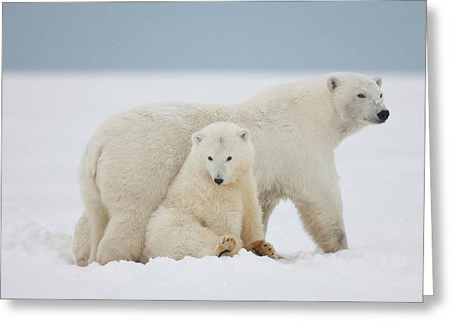 A Female Polar Bear And Her Two Cubs Greeting Card by Hugh Rose