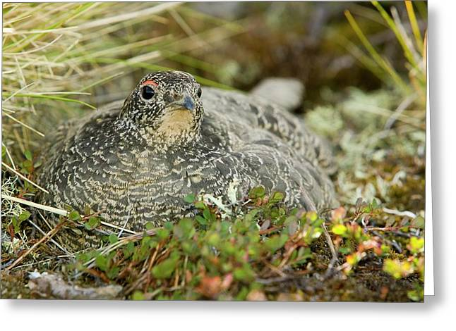 A Female Ptarmigan Sat On A Nest Greeting Card by Ashley Cooper